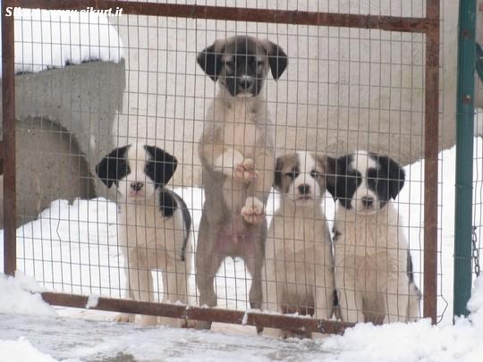 Cani Da Guardia Piacenza Cuccioli Di Cani Da Guardia Per La
